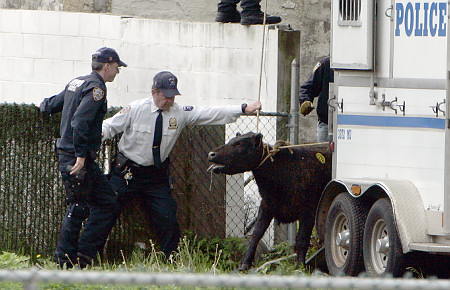 NYPD police officers capture a cow in Jamaica, Queens, after it got loose from a nearby slaughter house Wednesday.