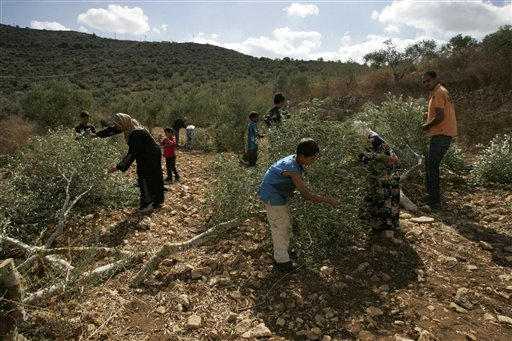 """Palestinians pick olives from trees farmers say were cut overnight by Jewish settlers, nearby the Jewish settlement of Eli in the northern West Bank village of A Laban al-Sharkiyeh, Saturday, Oct 23, 2010. Vandals chopped down around 20 Palestinian-owned olive trees in the West Bank overnight Saturday, the latest in a string of attacks against Palestinian property during the important autumn harvest season. """"We found our trees sawed when we came to pick them this morning,"""" said farmer Raja Aweis, 42. A military spokesman said police were investigating. (AP Photo/Nasser Ishtayeh)"""