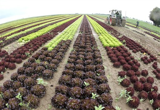 Farmer Mario Walter mulches thousands of salads on his field in Nieder-Erlenbach near Frankfurt, Wednesday, June 8, 2011. After an outbreak of E. coli that has killed at least 25 people and sickened hundreds in Europe, salads and other vegetables can hardly be sold in Germany. (AP Photo/Michael Probst)