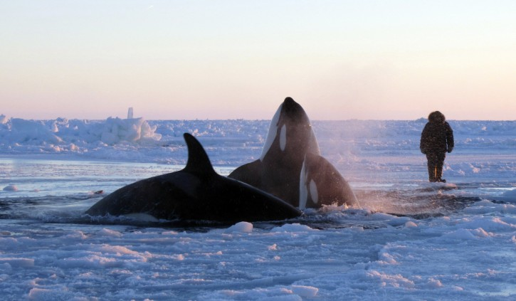 In this Tuesday, Jan. 8, 2013 photo provided by Marina Lacasse, killer whales surface through a small hole in the ice near Inukjuak, in Northern Quebec. Mayor Peter Inukpuk urged the Canadian government Wednesday to send an icebreaker as soon as possible to crack open the ice and help the pod of about a dozen orcas find open water. The Department of Fisheries and Oceans said it is sending officials to assess the situation. (AP Photo/The Canadian Press, Marina Lacasse)