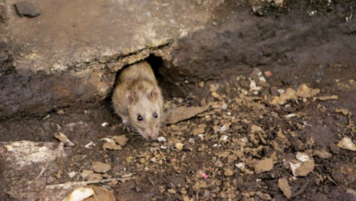 A rat comes out of its hole at a subway stop in Brooklyn, New York. / AP