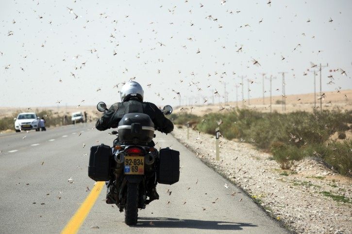 An Israeli motor cyclist passes through locusts as they swarm near the Egyptian border at the Negev Desert area of Nitzana, 06 March 2013. The swarm of locusts came from Egypt and Israel has been spraying the area in the hopes of killing off the millions of locusts.  EPA/JIM HOLLANDER