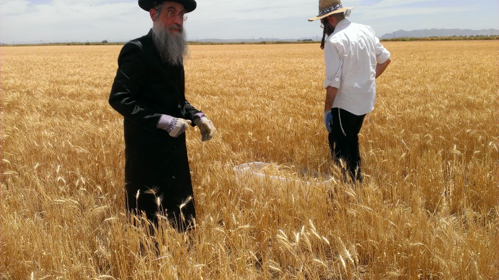 Rabbi Benzion Shrasser with his son harvesting by hand for private use.