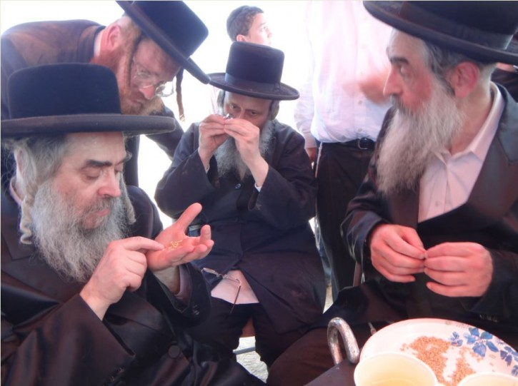 The Rebbe with Rabbi Efraim Shimon Leichtag [C] and Rabbi Benzion Shrasser [R] checking the wheat grains to see if any where sprouted. After checking thousands not even one sprouted was found.