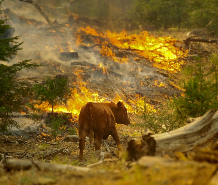 A cow passes a flare-up of the Rim Fire near the Yosemite National Park border in Groveland, California, USA, 24 August 2013. EPA/NOAH BERGER