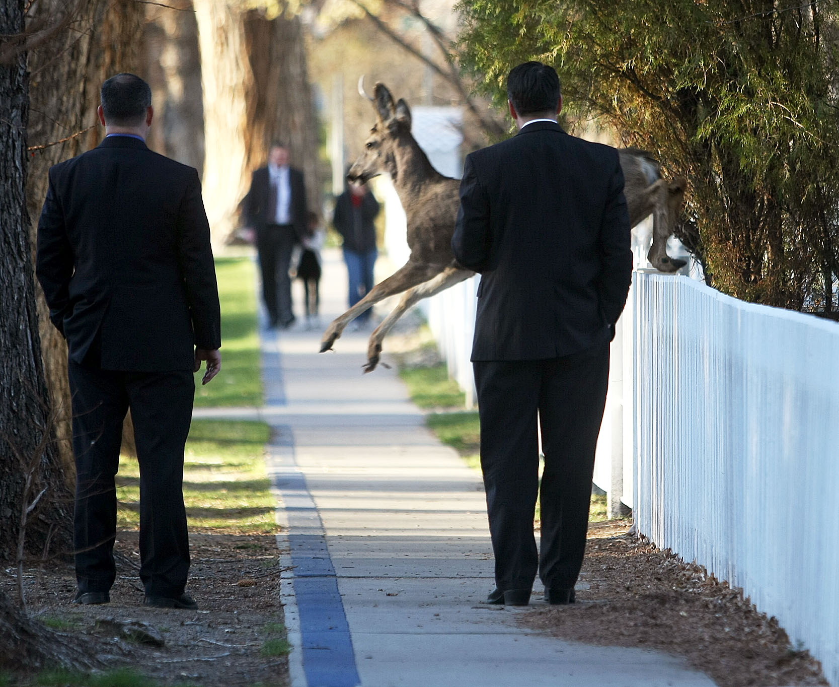 carson city nv leaping deer interrupts governor s walk to work a deer jumps in front of nevada gov brian sandoval right while he