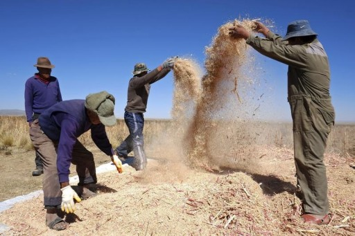 FILE - Farmers separate grains during a Quinoa harvest on a field in Tarmaya, some 120 km south of La Paz April 29, 2013.