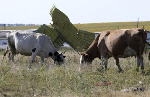 FILE - Cows graze near wreckage at the crash site of Malaysia Airlines Flight MH17 near the village of Hrabove (Grabovo), Donetsk region July 26, 2014.  Reuters