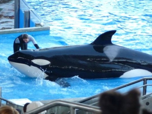 File: A trainer works with a killer whale during the ''Believe'' show at Sea World in Orlando, Florida. REUTERS/RICHARD BAUM