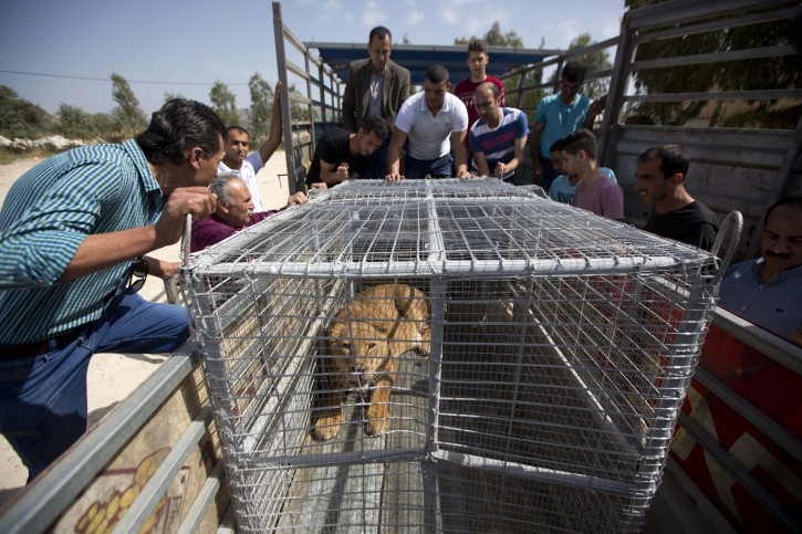 Palestinians look at a lioness after her arrival at a zoo in the Atil village near the West Bank city of Tulkarem, Monday, April 11, 2016. The lioness was evacuated from a makeshift zoo in Rafah, southern Gaza Strip, to join her mate who was moved earlier to a better zoo in the West Bank. Four adult lions and two cubs were evacuated from cash-strapped, conflict-ridden zoos in Gaza for treatment