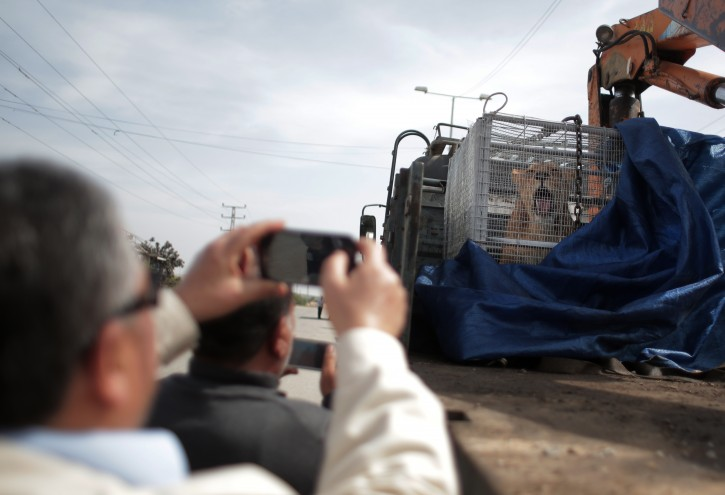 A Palestinian man photographs a lioness siting in a crate on a truck on the Palestinian side of Erez crossing with Israel in northern Gaza Strip. Monday, April. 11, 2016.  (AP Photo/ Khalil Hamra)