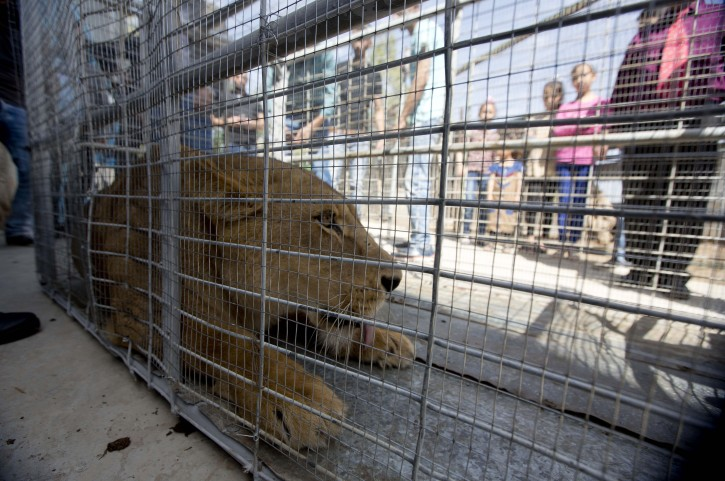 Palestinians look at a lioness after her arrival at a zoo in the Atil village near the West Bank city of Tulkarem, Monday, April 11, 2016. The lioness was evacuated from a makeshift zoo in Rafah, southern Gaza Strip, to join her mate who was moved earlier to a better zoo in the West Bank. Four adult lions and two cubs were evacuated from cash-strapped, conflict-ridden zoos in Gaza for treatment and better living conditions in the West Bank and Jordan. (AP Photo/Majdi Mohammed)