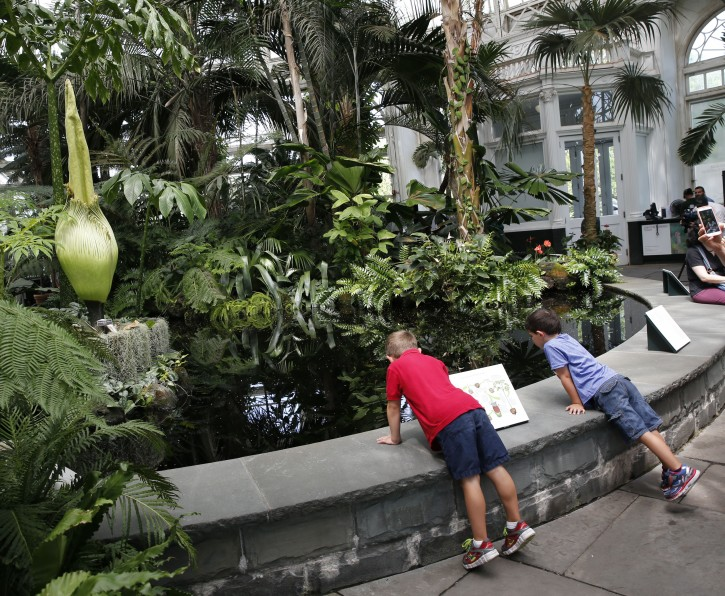 Two boys survey the water surrounding the rare Corpse flower, one of the earth's largest flowers, which is about to bloom during a brief 24 to 36-hour period, inside the Haupt Conservatory at the New York Botanical Garden, Thursday, July 28, 2016, in New York. The unusual plant is named for the pungent smell of released by it's enormous inflorescence, which releases a scent that smells like rotting flesh to attract flies. The garden says the last time this species bloomed there was in 1939. This particular plant was ten years in the making. (AP Photo/Kathy Willens)