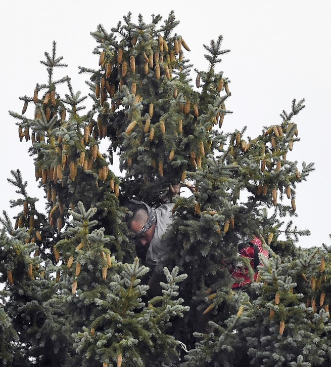 In this photo taken July 31, 2016, Lane Malouff  tries to hide in the branches of pine in Colorado Springs, Colo., while trying to evade being arrested by the police. Malouff stayed in the tree for hours before being coaxed down. (Jerilee Bennett/The Gazette via AP)