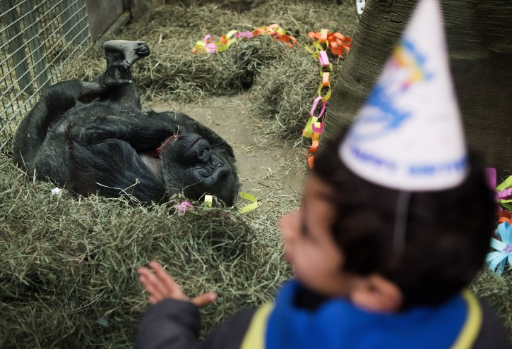 : A little boy wearing a birthday hat looks through the glass as Colo the Gorilla looks back at him lying on her back inside of her enclosure, in the Congo Expedition area, during her birthday party at the Columbus Zoo, on December 22, 2016 in Columbus, Ohio. Colo, the first gorilla born in captivity, turned 60-years-old to become the oldest living captive gorilla in history. (AP Photo/Ty Wright)