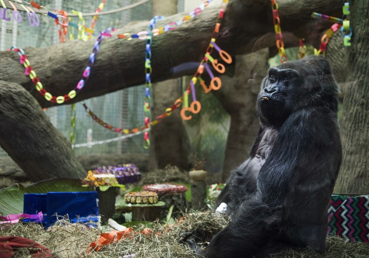 Colo the Gorilla sits inside of her enclosure, in the Congo Expedition area, during her birthday party at the Columbus Zoo, on December 22, 2016 in Columbus, Ohio. Colo, the first gorilla born in captivity, turned 60-years-old to become the oldest living captive gorilla in history. (AP Photo/Ty Wright)