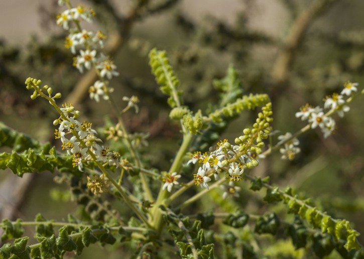 In this photo made on Monday, Sept. 17, 2018, the blossom of the Frankincense trees in Balm Gilead farm, founded by the Israeli Guy Erlich in the Jordan valley by the Dead Sea near Kibbutz Almog. (AP Photo/Tsafrir Abayov)