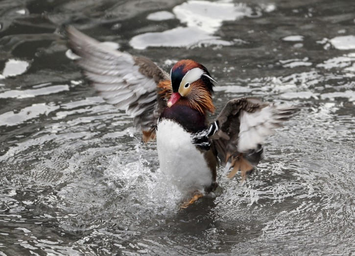 A Mandarin duck is seen in Central Park in New York, Wednesday, Dec. 5, 2018. (AP Photo/Seth Wenig)