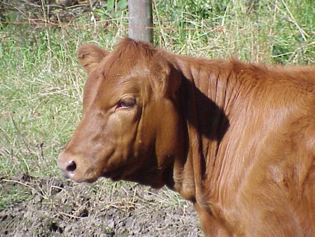 Red Heifer Discovered And Purchased In Colombia 1